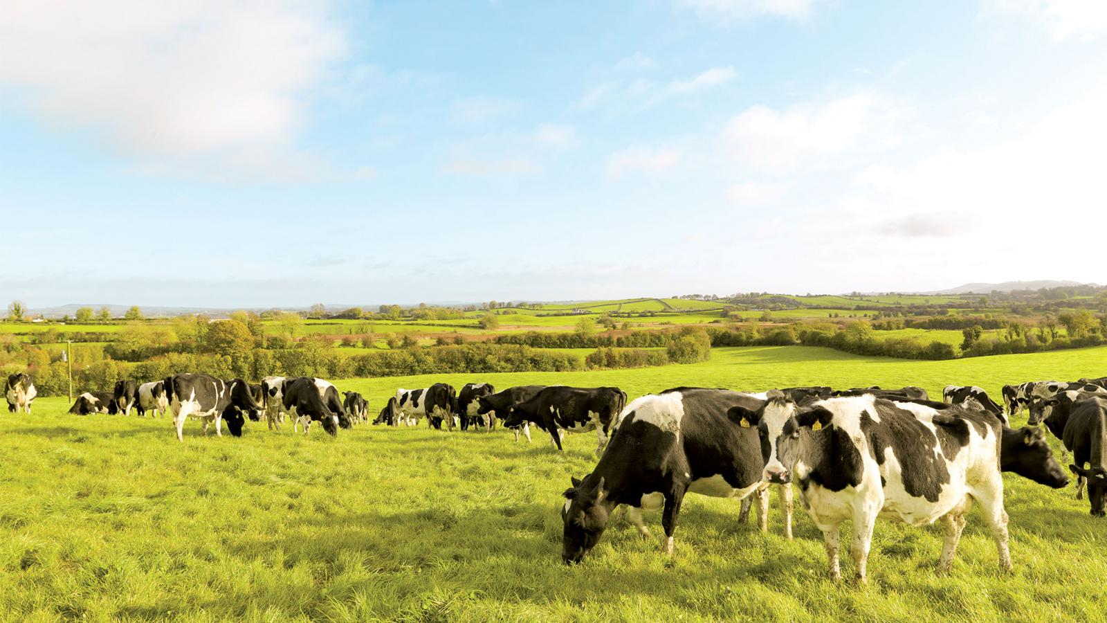 Irish cows grazing in a field